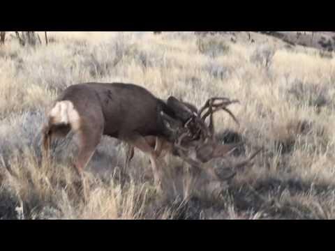 Mule Deer Fighting in the Rut in Utah