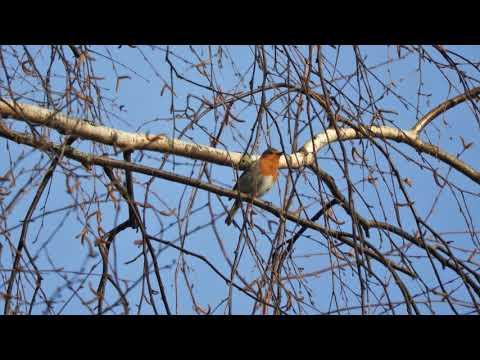 Зарянка поёт  / Robin Song