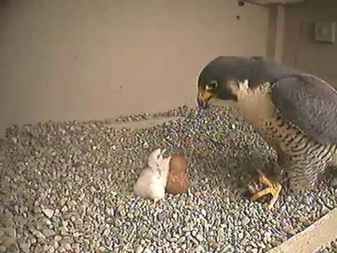 Falcon Nest - Columbus, Ohio - Feeding