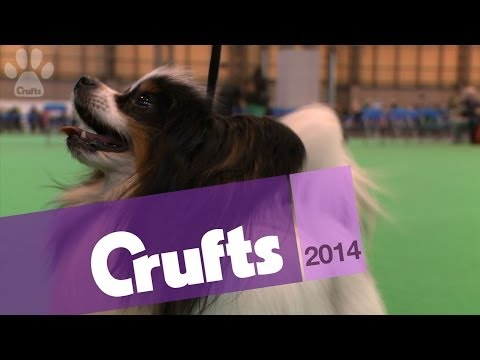Papillon | Best of Breed | Crufts 2014