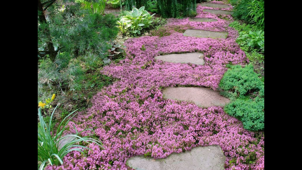 Live Mulch How To Plant Sweet And Low Flowering Ground Cover