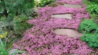 Live Mulch -- How to plant Sweet and Low flowering ground cover