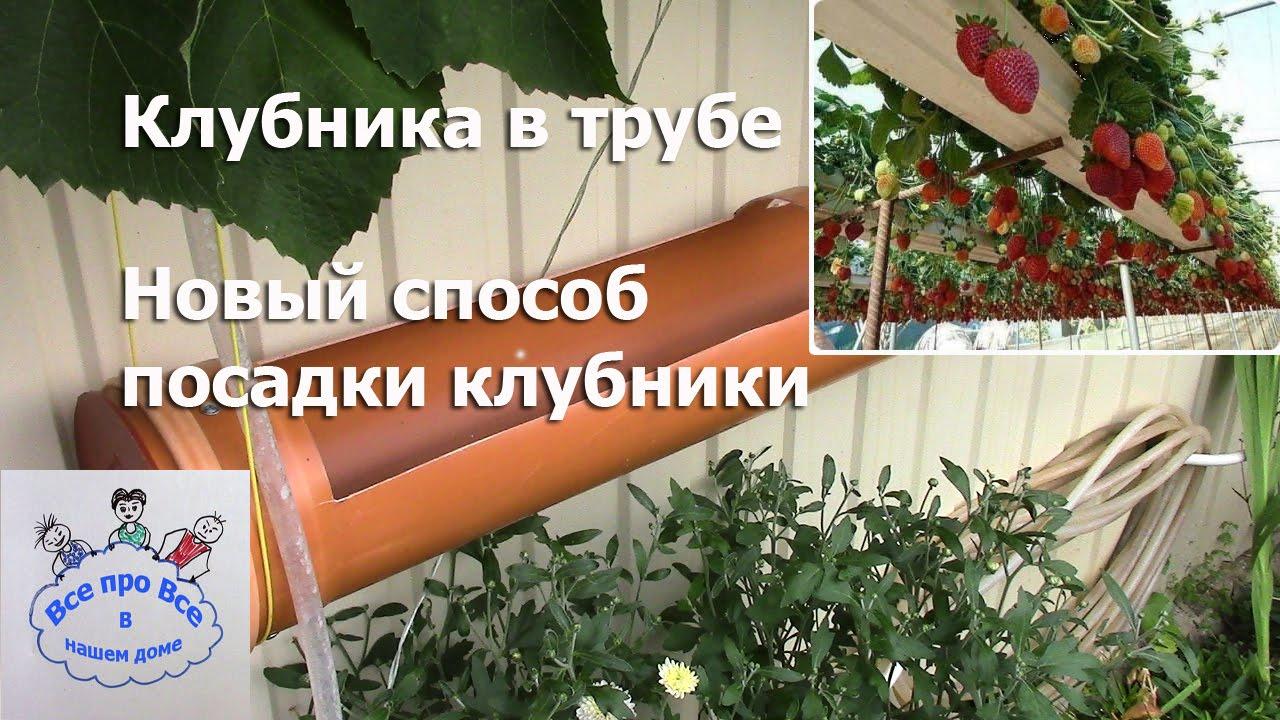 Выращивание клубники в трубах горизонтальным и вертикальным способом