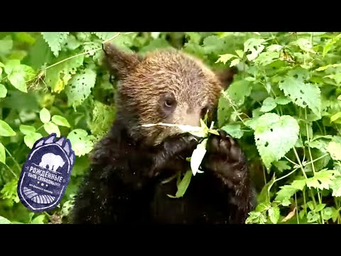 Рождённые быть свободными. Медвежья школа. Серия 3