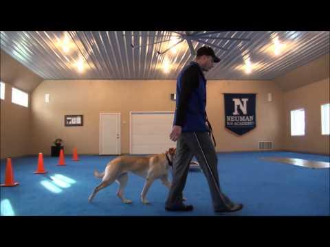Tilia (Labrador Retriever) Obedience Training Camp