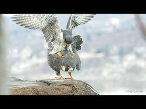 Peregrine Falcons copulating - New Jersey