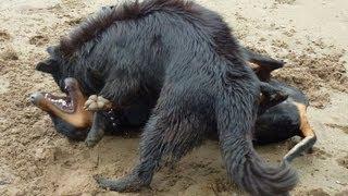 Doberman Versus German Shepherd - Dog Fight! (playing!)