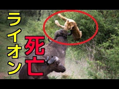 【閲覧注意】①ライオンVSバッファロー!ライオン死亡②オオカミの捕食 バイソンが仲間に突進&アシスト③捕食バトル色々まとめ!