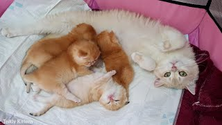 Golden British Shorthair kittens and their cat mother Caramel 🥰
