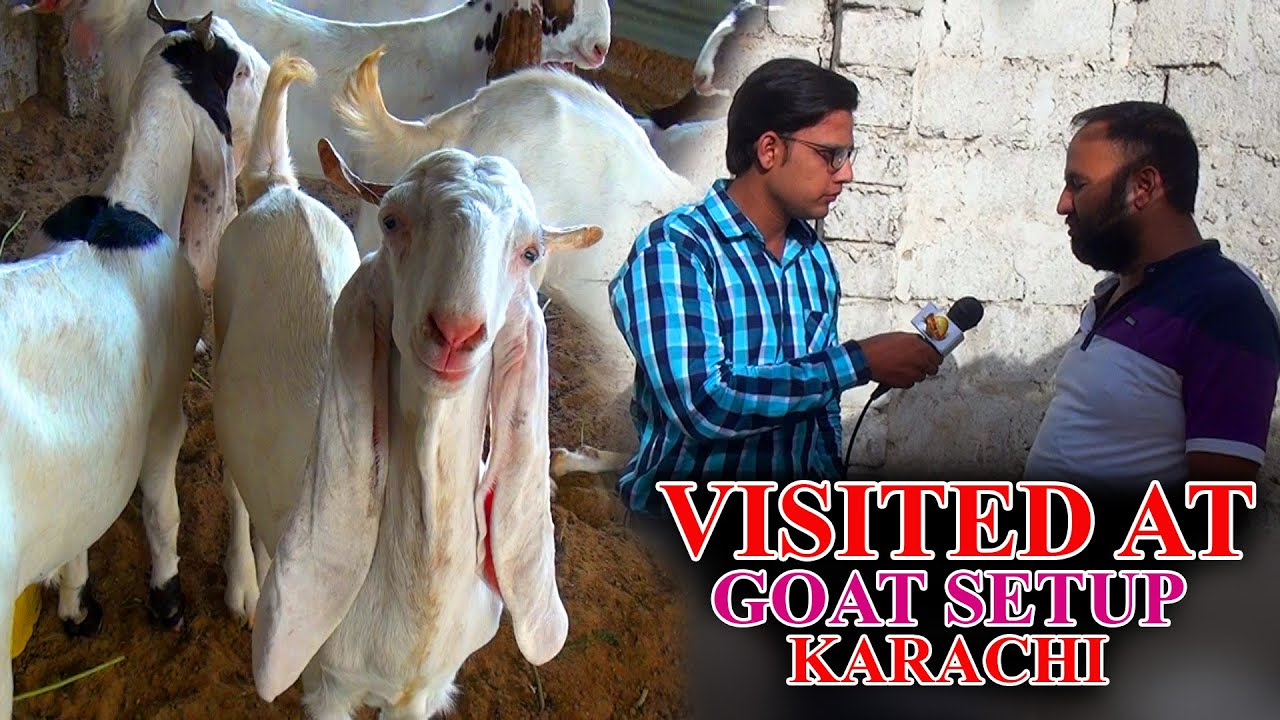 Download Visited at goats farm Video Rajan puri Gulabi and mix breeds Goats Karachi In Urdu/Hindi