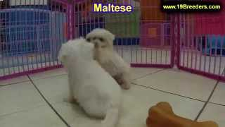 Maltese, Puppies, For, Sale, In, Mobile, County, Alabama, Al, Huntsville, Morgan, Calhoun, Etowah, H