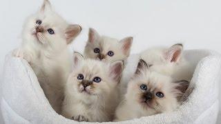 Кошки породы Священная Бирма 2015
