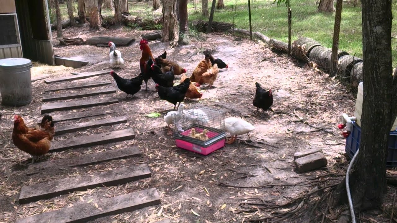 Introducing pekin ducklings to my chickens youtube for Can ducks and chickens share a coop