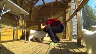 Щенки самоедской собаки, питомник Ристикент  #2