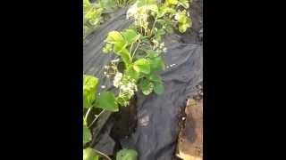 Клубника под агроволокном 1(видео где я делюсь обратной связью от выращивания клубники где купить как садить как поливать., 2014-05-12T19:40:57.000Z)