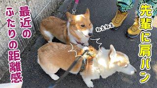 調子に乗った後輩犬が先輩犬に肩パンしてしまいました!