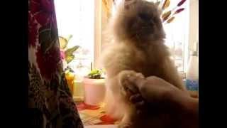 Кот подаёт лапку и здоровается (Greetings by cat ^.^)