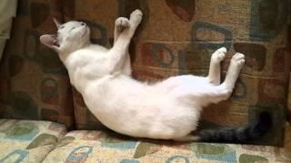 MIMI from VAN. VANA CAT ванская кошка վանա կատու