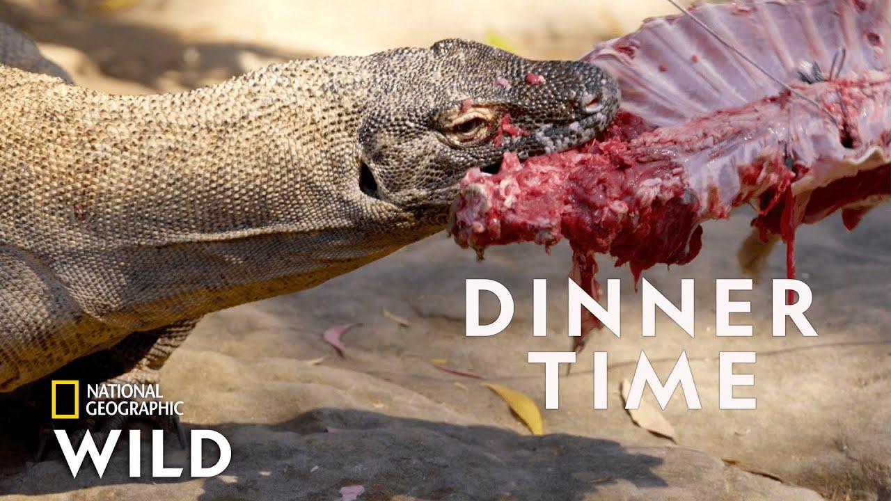 Download Feeding a Komodo Dragon    Secrets of the Zoo: Down Under