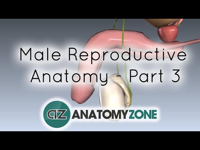 fiziologia erecției la bărbați