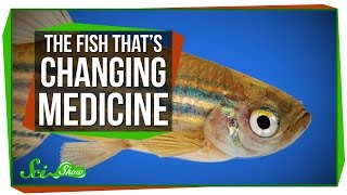 The Tiny Fish That's Changing Modern Medicine