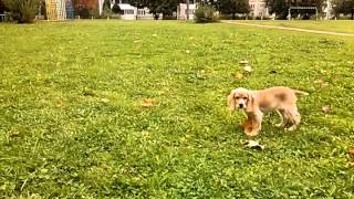 English Cocker Spaniel Puppy Playing With A Ball