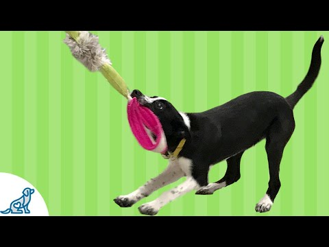 The Actual Value Of Playing Tug With Your Dog - Professional Dog Training Tips