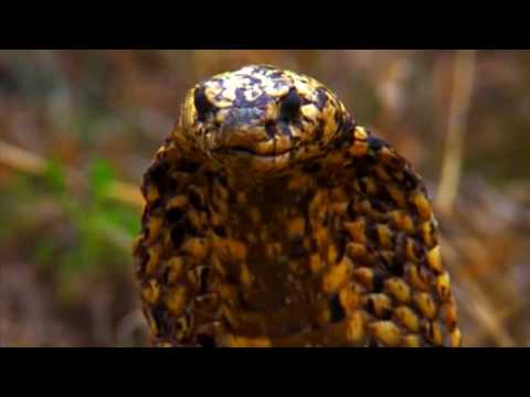 Deadly Cape Cobra 1 Bite Can Kill Up To 6 People Youtube