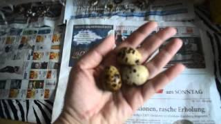3й день несутся наши перепела, и снова 3 яйца (6 самок).(3й день несутся наши перепела, и снова 3 яйца (6 самок). Смотреть весь плейлист о содержании перепелок в кварт..., 2016-03-04T15:45:31.000Z)
