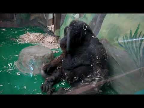 Orangutan gets caught pimple popping