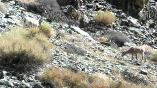 Big Horn Sheep - Silver Canyon, White Mountains