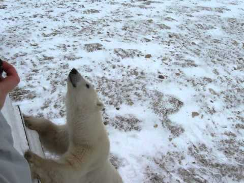 Polar Bears Churchill Manitoba - Jose R. Teres