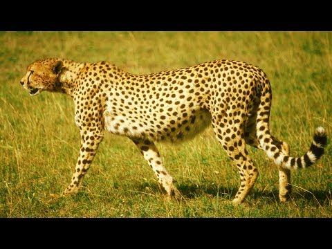 La splendeur du guépard au ralenti - ZAPPING SAUVAGE