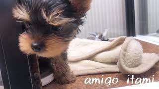 犬種 : ヨークシャテリア 毛色 : スチールブルー&タン 性別 ; 女の...