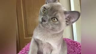 Голубой бурманский котёнок. Питомник бурманских кошек Freya Way