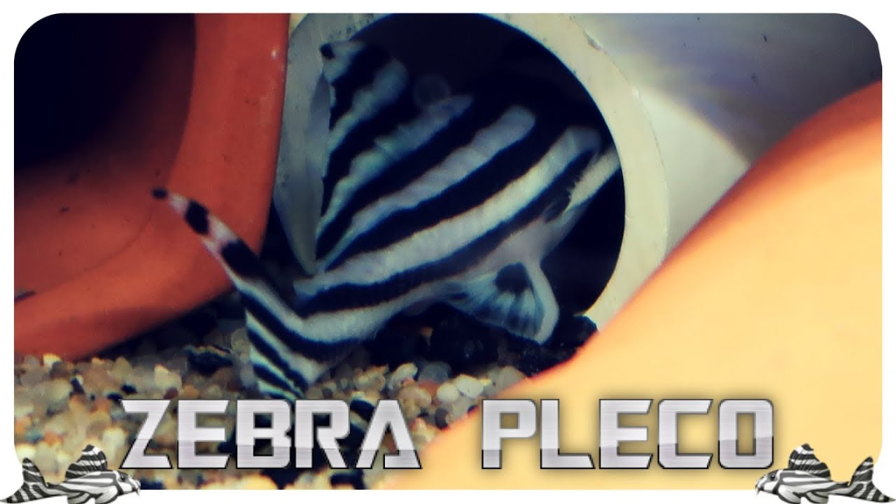 ZEBRA PLECOS - Ready to Breed - A Very Quick Update