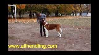 Хендлер или владелец - кто лучше в ринге?(Хозяин - хендлер? или какие есть плюсы и минусы показа на выставке вашей собаки профи хендлером? А какие..., 2014-11-19T07:45:31.000Z)