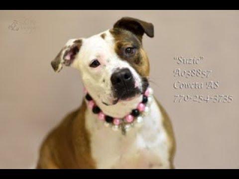 Georgia American Bulldog Rescue - ADOPTIONS - Rescue Me!