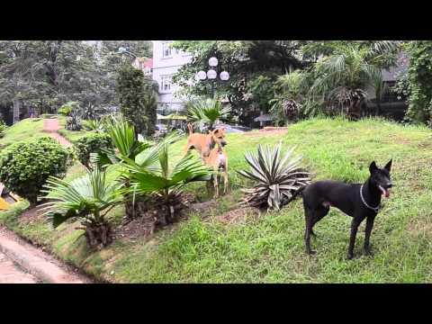 Chó Phú Quốc săn chuột ở Công Viên 1-6