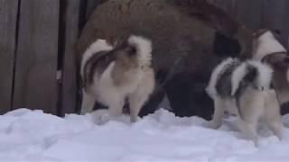 Отбор щенков лайки западносибирской для охоты  в 5 мес