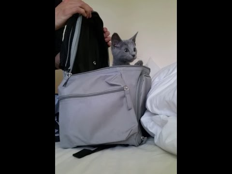 Russian blue kitten arrives at new home First day home adorably cute
