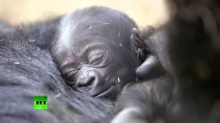 Детеныш гориллы четырех дней от роду привлекает толпы туристов в зоопарк Сан-Диего(Новорожденный детеныш гориллы привлекает толпы туристов в зоопарк американского города Сан-Диего. Малыш..., 2014-12-31T10:32:00.000Z)