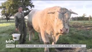 ANIMAUX : La Charolaise, une vache rustique à la robe blanche