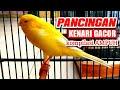 Pancingan Kenari Gacor Kompilasi  Mp3 - Mp4 Download