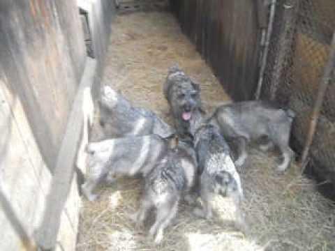 Миттельшнауцер - Все о породе собаки | Собака породы .