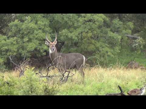 Bachelor Herd of Impala with Beautiful Male Water Buck