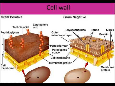 3 easy microbiology bacterial cell wall cell membrane for exams in 3 easy microbiology bacterial cell wall cell membrane for exams in hindi ccuart Images