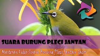 5 Jenis Suara Burung Pleci Jantan Ngalas Panjang Buka Paruh Untuk Memancing Bunyi