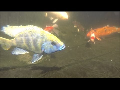 Tropical Fish In Koi Pond...Taking Over!!!