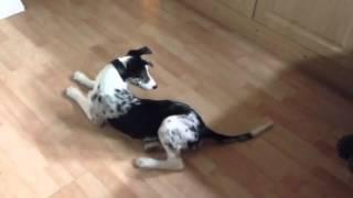 Hancock Lurcher Pup